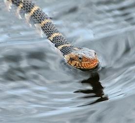 florida-water-snake